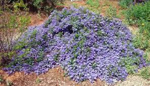 Ceanothus, California lilac