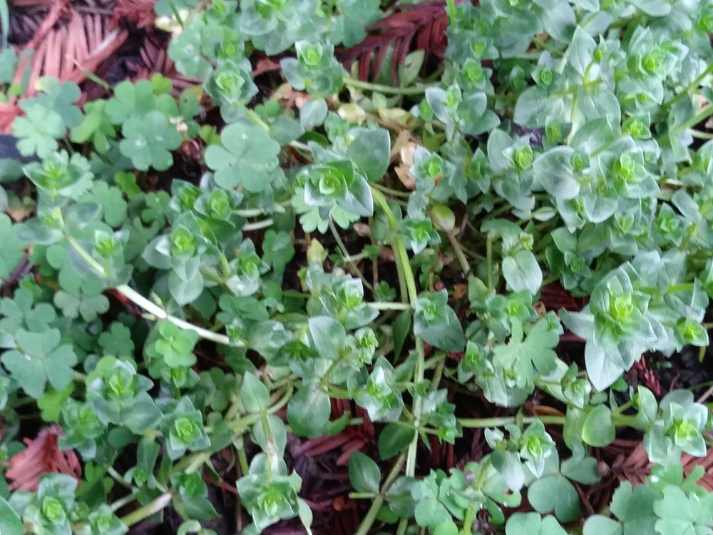 Scarlet Pimpernail (shown here) is a toxic weed that immitates garden perennials, it also tries to pass itself off as chickweed which is a common weed plant that is ebible and medicianal