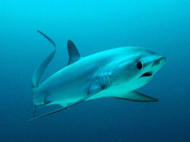 Thresher shark. Look at that face. That's my expression when I hear someone say they voted for Trump. That shark is a harmless, lovable dork.