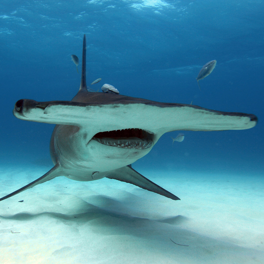Hammerhead Shark. Dork. Look at all its little friends swimming around its wide head. Such a wide-headed dork.