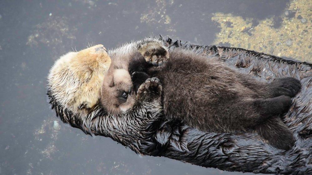 Sea Otter Mama & Pup.jpg
