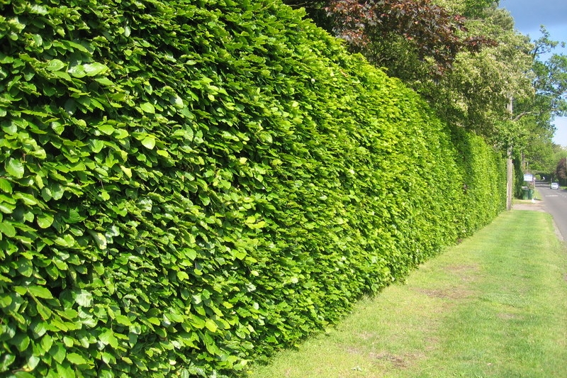 Hedge Trimming - We take pride in our hedge cutting and make sure customers hedges are pruned with diligence and trimmed evenly.