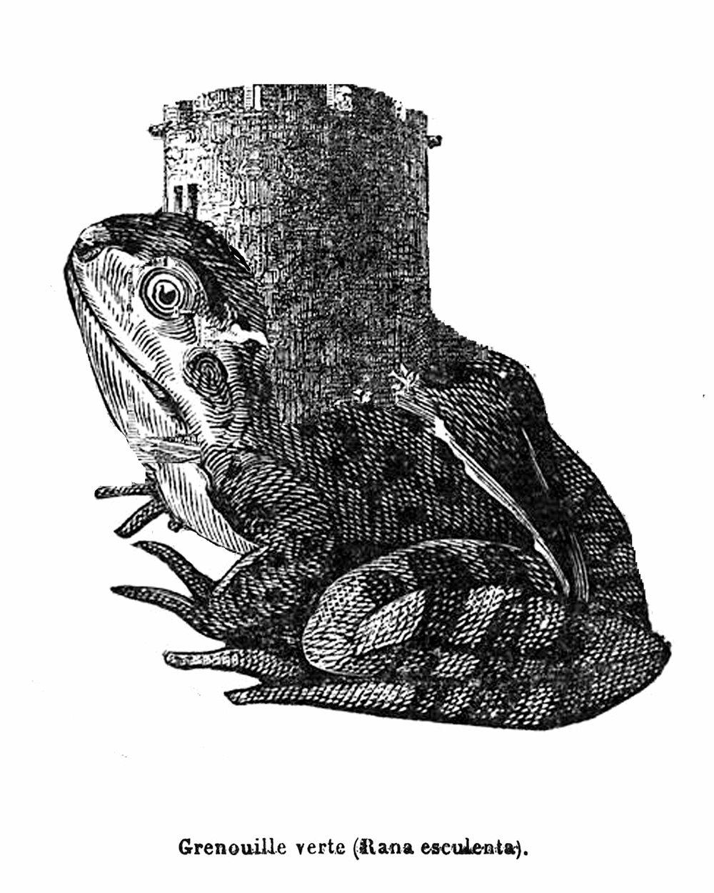 water-frog copy.jpg