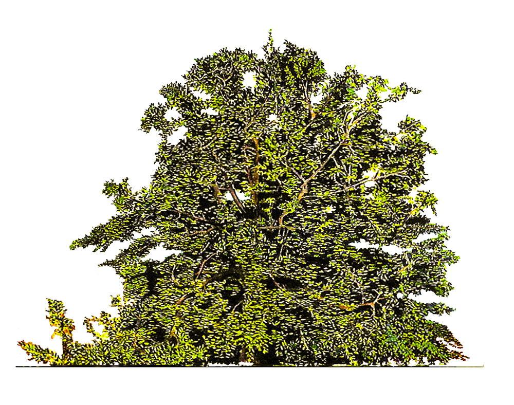 BEECH TREE4.jpg