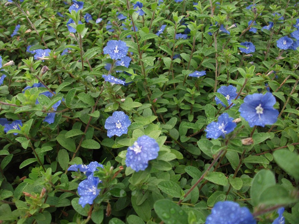 Blue Daze- salt tolerant, durable, low maintenance