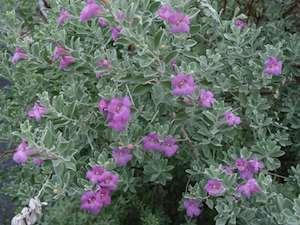 Varieties of Sage - salt tolerant, moderate maintenance