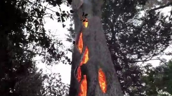 Tree burning from the inside?