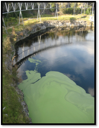 Blue green algae.png