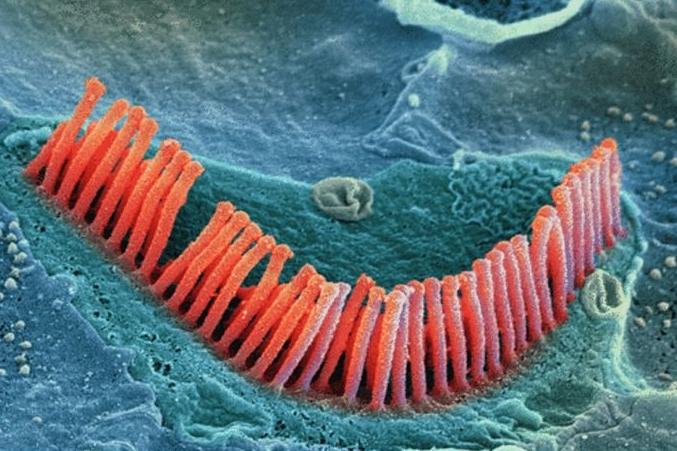 Vista microscópica de las  células ciliadas del oído interno.