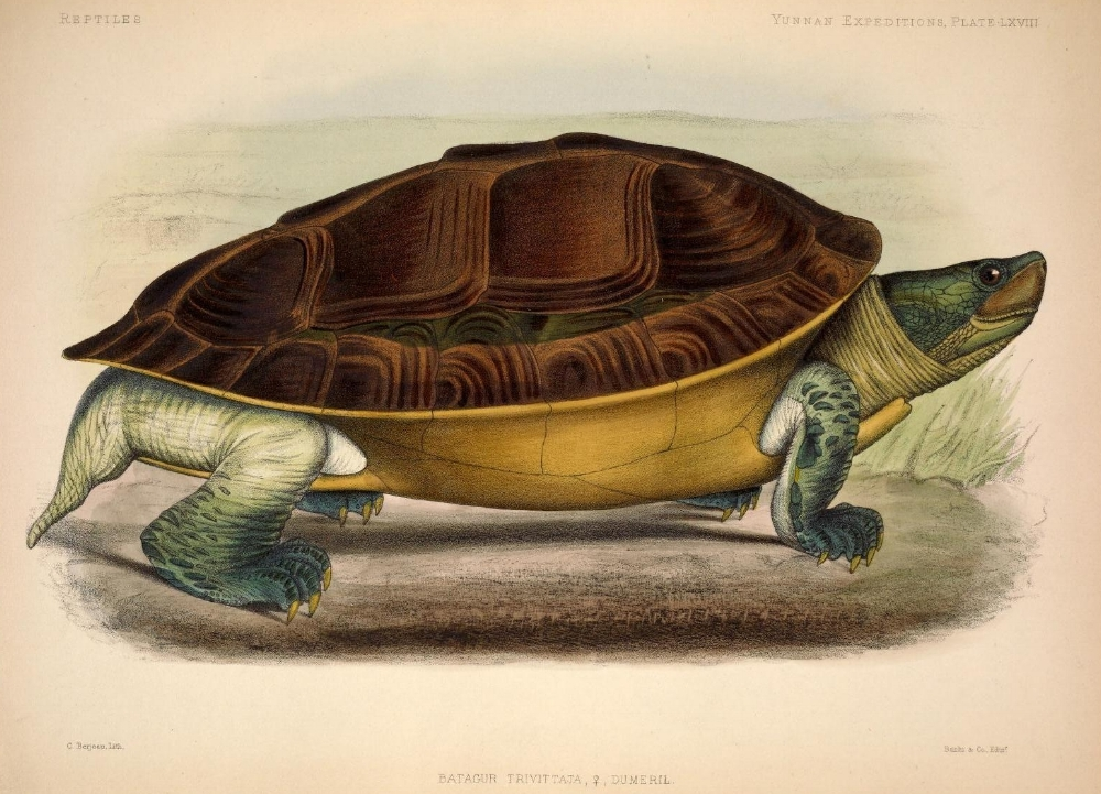 Tortuga Batagur trivittata c berjeau_biodiversitylibrary_orgp_001_001_ful.jpg