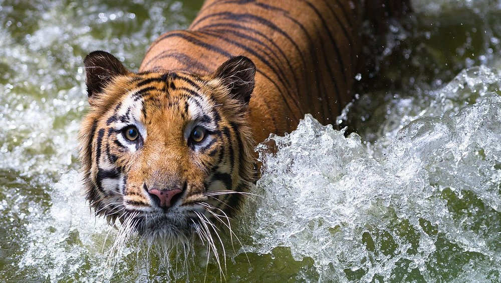 Tigre-de-Sumatra.jpg