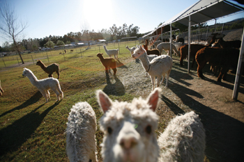 Alpacas at Windy Hill.jpg