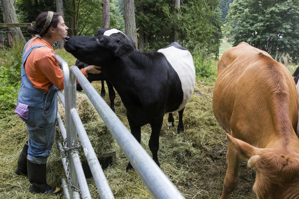 Steers on Pasture.jpg
