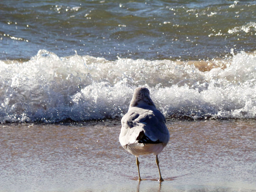 Lake Michigan Seagull