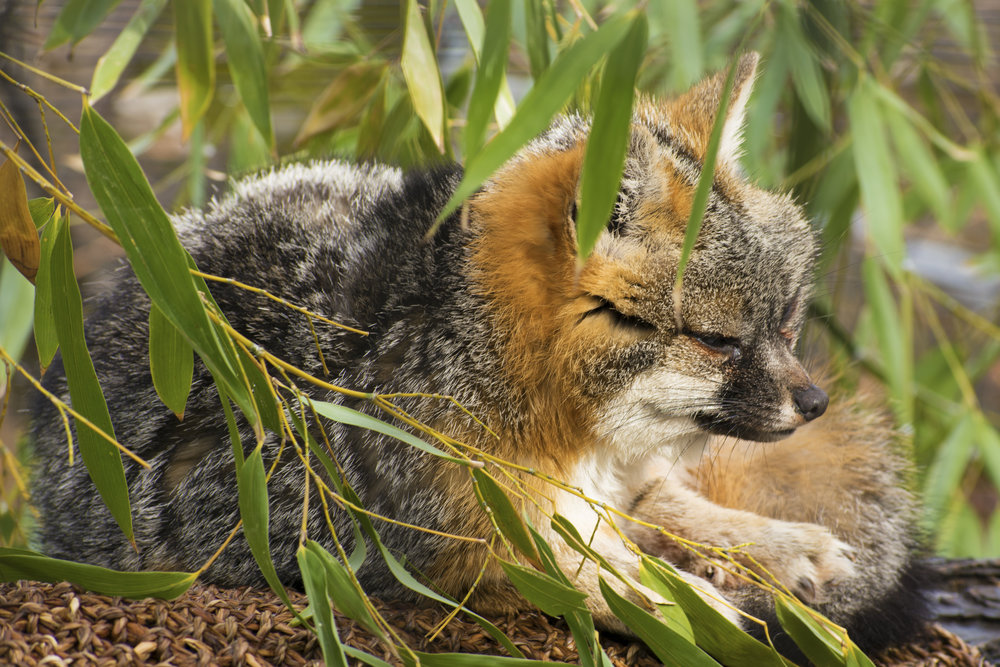 Cincinnati Zoo's Gray Fox