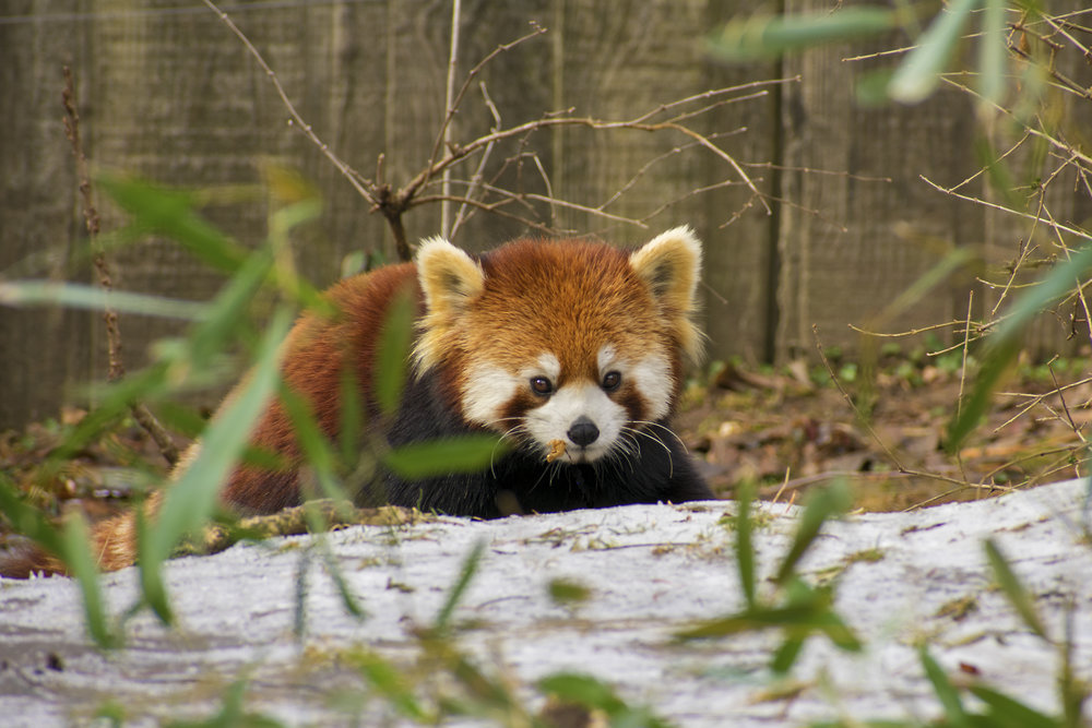 Cincinnati Zoo's Red Panda