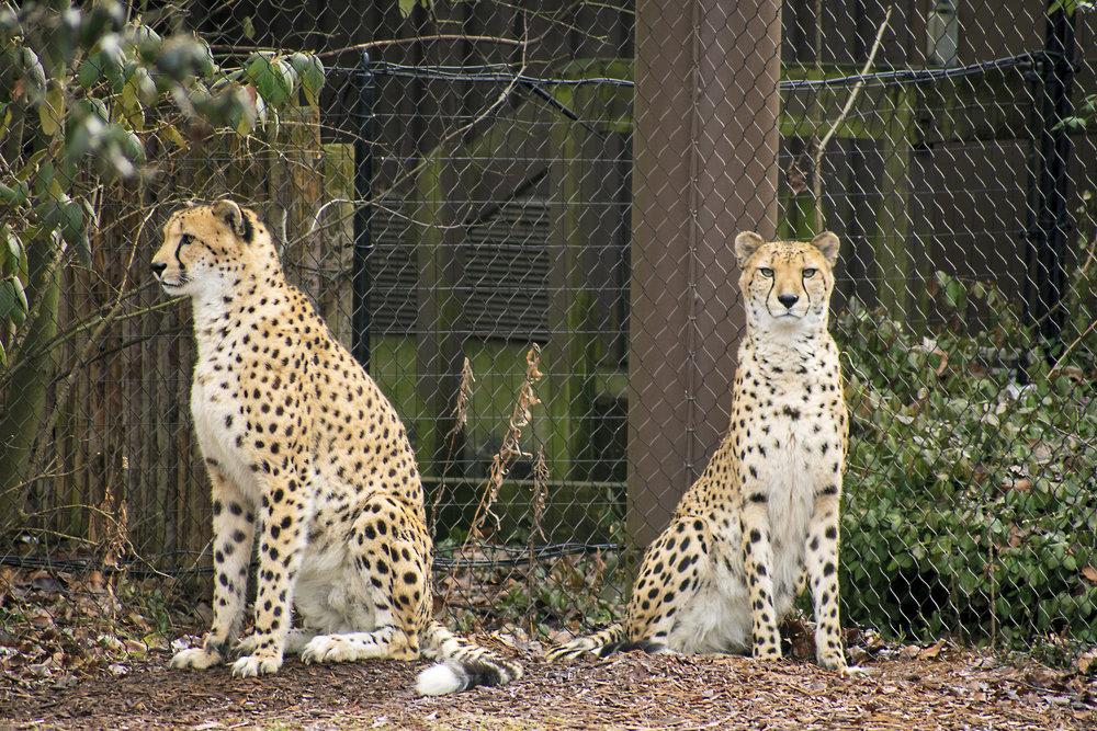 Cincinnati Zoo's Cheetahs