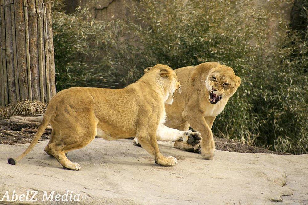 Cincinnati Zoo's African Lions