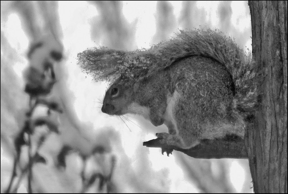 snowsquirrel_bw2-1-19-11.jpg