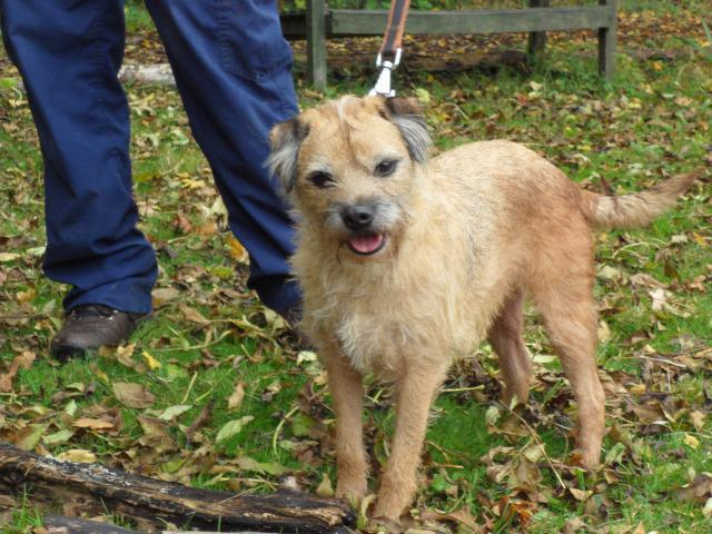 Benji (Border Terrier, around 6 years old)