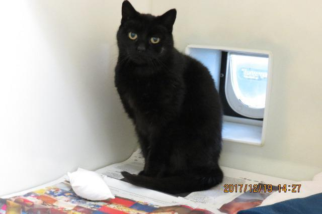 Arnold (Domestic Short Hair, Male, around 7 years old)