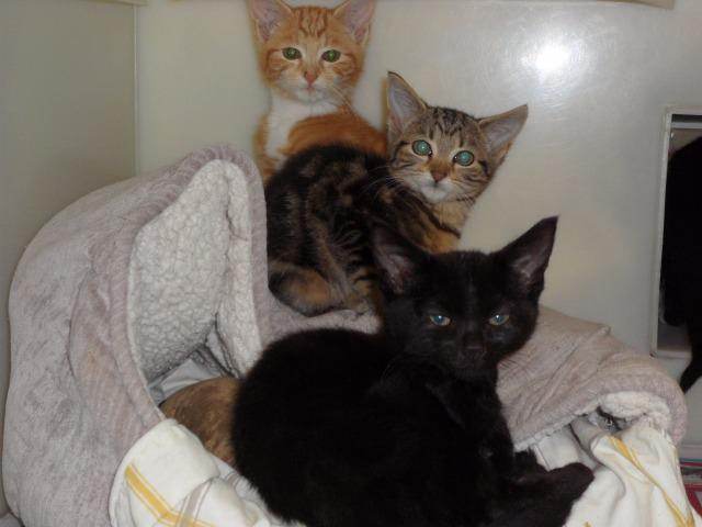 Bramble & Whisky (Domestic Short Hair, Female & Male, around 5 months old)