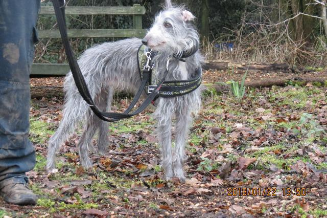 Merlin, Whippet/Bedlington Terrier, About 5 years old