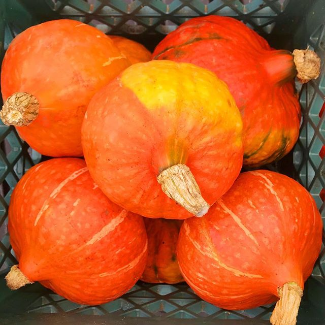 The Orange Kabocha Squash we picked today is bursting with color and flavor! 💥💥💥💥💥 We will be featuring it this weekend in a puréed soup as well as a curry served over hot brown rice. 🍛 Fall is here and we are kind of loving it. 🎃🍂🍄🍁 #organic #farmtotable #farmersmarket
