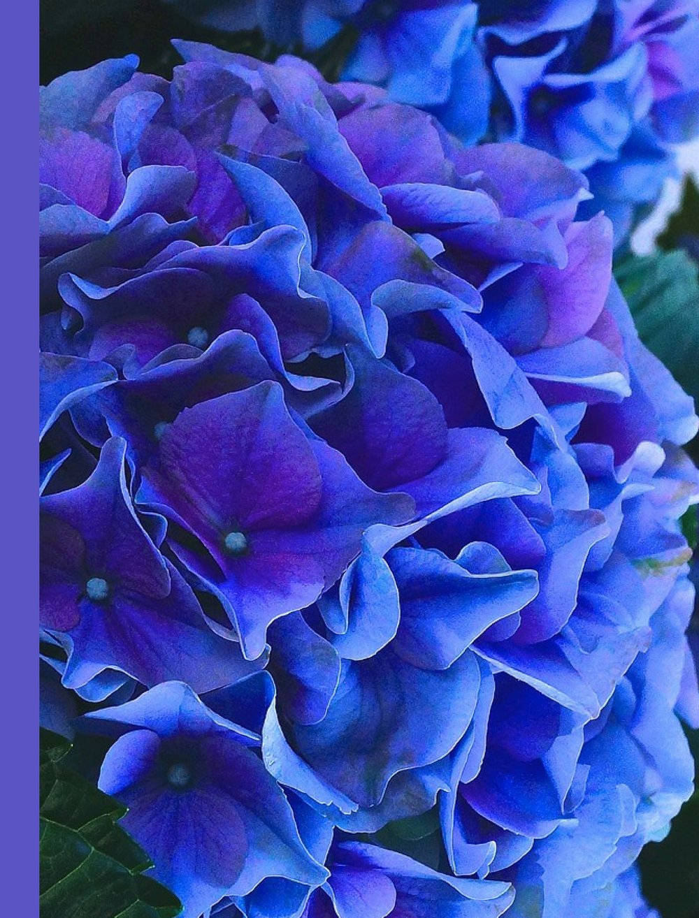 Blue & Purple Hydrangea Blank Writing Notebook