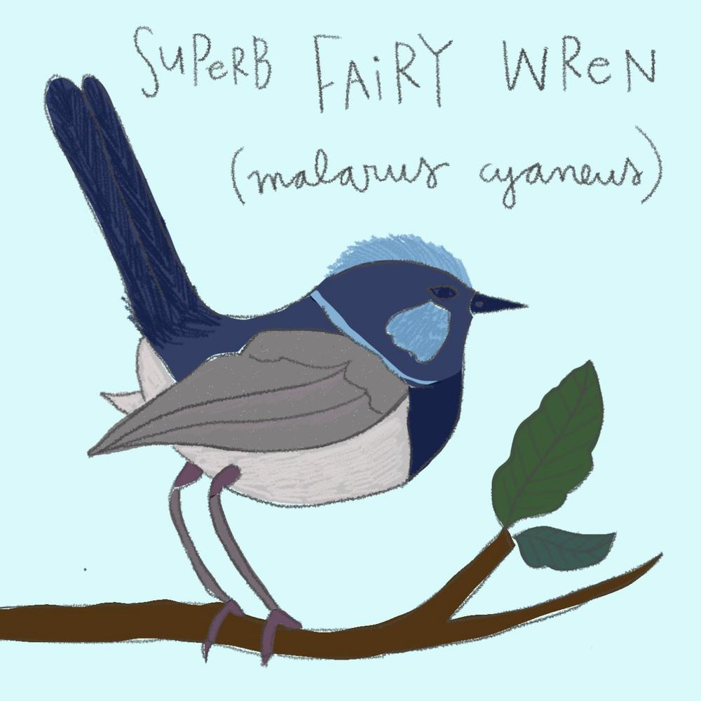 fairy wren.png