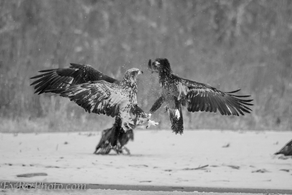 Juvenile eagles fuss over precedence.  2017-12-27.