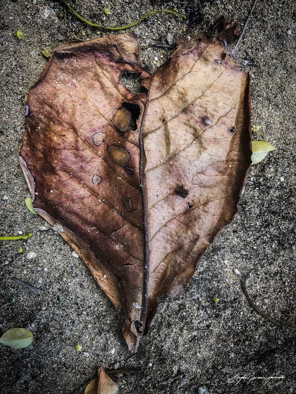 Leaf Heart 2 (1 of 1) copy.jpg