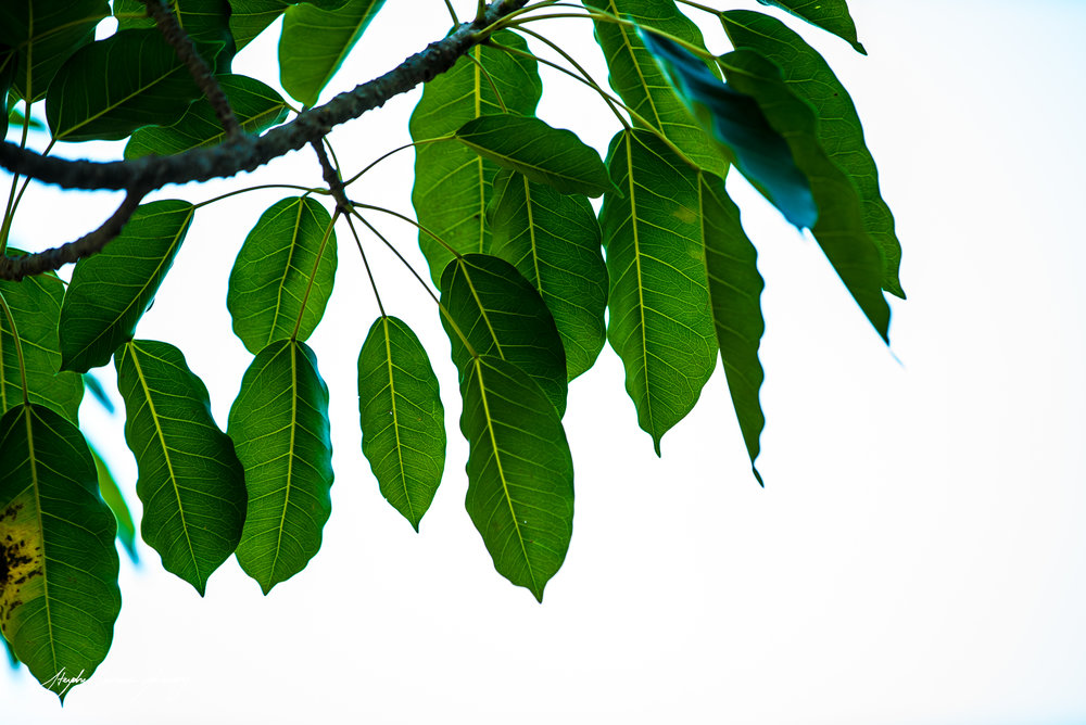 Indo leaves (1 of 1) copy.jpg