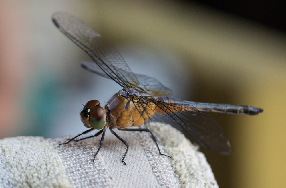 Bali Dragonfly 6 (1 of 1).jpg