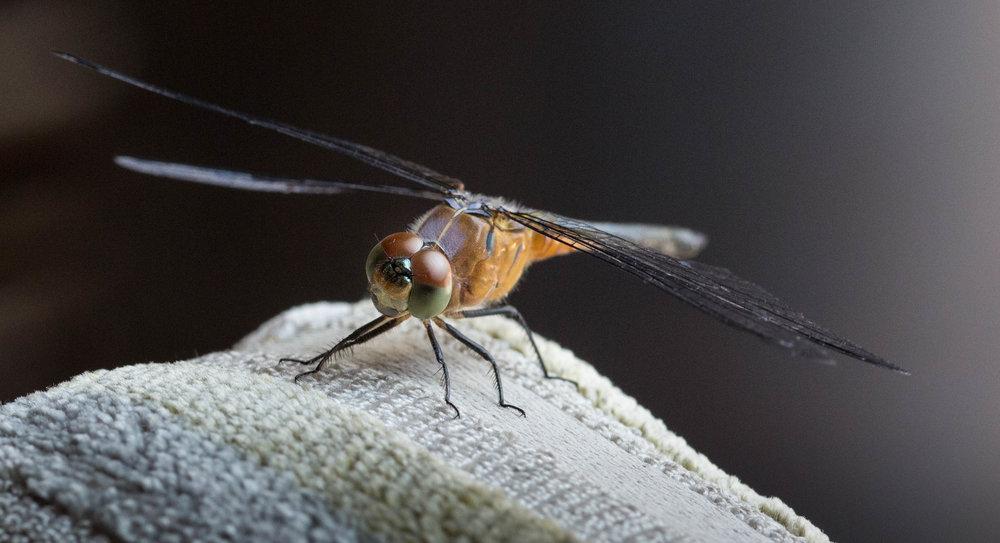 Bali Dragonfly 7 (1 of 1).jpg