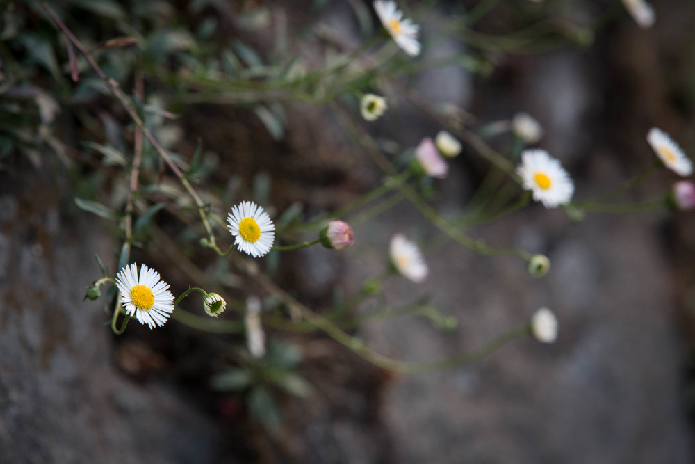 daisies (1 of 1).jpg