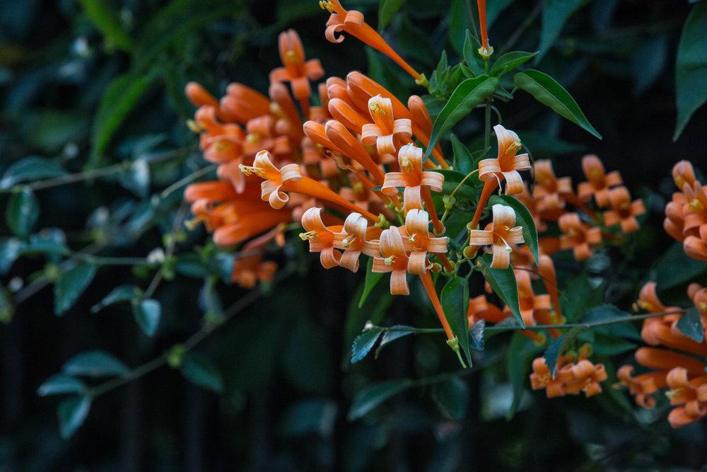 orange blooms (1 of 1).jpg