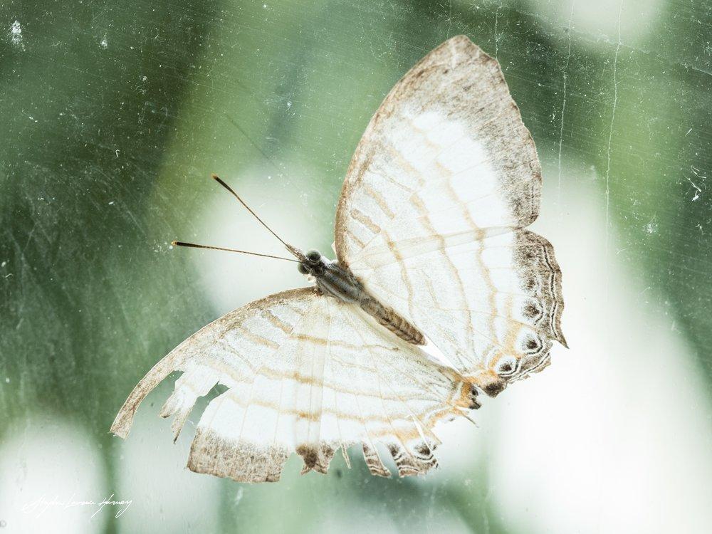 Tattered Wings (1 of 1) copy.jpg