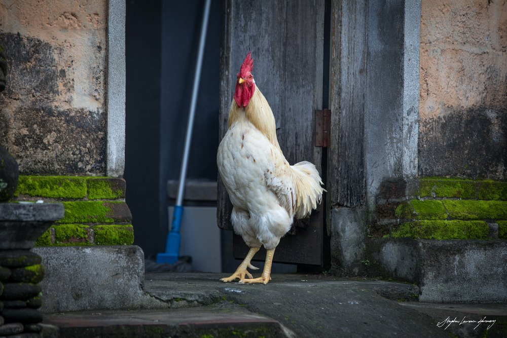 White Bali Cock (1 of 1).jpg