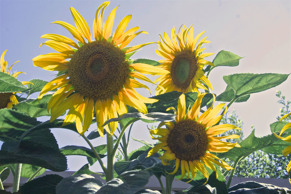 sunflowers-sml.jpg