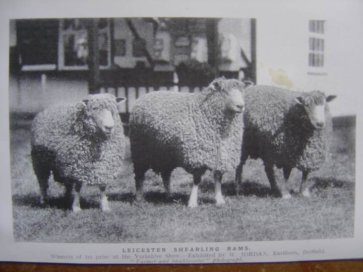 """Brief History of the Breed - Known by many names; Leicester Longwool (pronounced as """"Lester""""), English Longwool, Bakewell Leicester, Dishley Leicester, and several others. This breed, now considered """"threatened""""by the Livestock Conservancy traces its roots back to 1700s England in Dishley, Leicestershire when breeder Robert Bakewell developed the breed into the fine, stately creatures we now know. They are not to be confused with the Border Leicester or the Blue Faced Leicester, which are separate breeds.When the breed reached the new colonies (before the American Revolution) George Washington remarked in the rams excellence as a sire for his own flock, saying he had the fortune of receiving,""""Choice of good rams from the English Leicester breed."""" The breed continued as a favored breed throughout Europe and the Americas until the mid 1800 until it all but disappeared in the early 1900s,in favor for finer wool breeds such as Merino.It wasn't until the 1990s that it was reintroduced to the United States using Australian stock, by efforts of the Colonial Williamsburg Foundation in Virginia. Today, the English Leicester is regaining recognition in the form of many small farms who's goal is to conserve what is still considered a rare breed."""