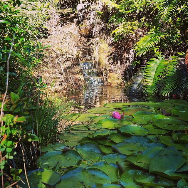 Tiny waterfall#pink water lily#where else