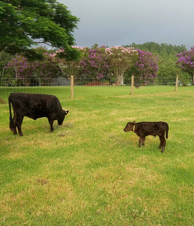 Our first baby calf, a Dexter boy, soooo cute at Curra Homestead Maleny. #sunshinecoast #countrylife #airbnb #sunshinecoasthinterland #maleny #malenywedding #pets #petsofinstagram #visitsunshinecoast #queensland