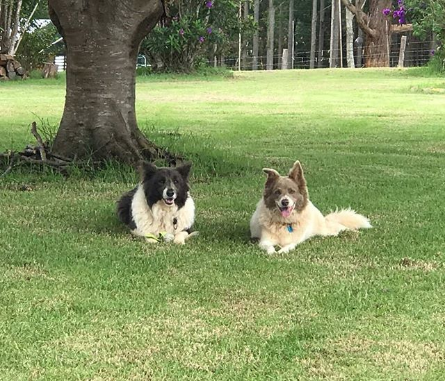More happy visitors to our little piece of Maleny paradise relaxing on a Sunday #sunshinecoast #dogs #pets #dog #airbnb #visitsunshinecoast #lifestyle #visitqueensland #travel #pet #sunshinecoasthinterland