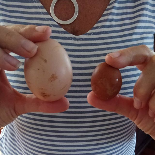 How thoughtful of our youngest chicken to deliver us such a cute Easter egg. #sunshinecoast #visitsunshinecoast #easter #sunshinecoasthinterland  #food #fresh #countrylife #pet #bird