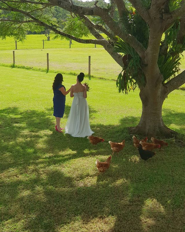 Hitched in the Hinterland.  Even the chooks loved the experience. For an exceptional wedding visit #mistyblandevents  #sunshinecoast #wedding #maleny #malenywedding #country #lifestyle