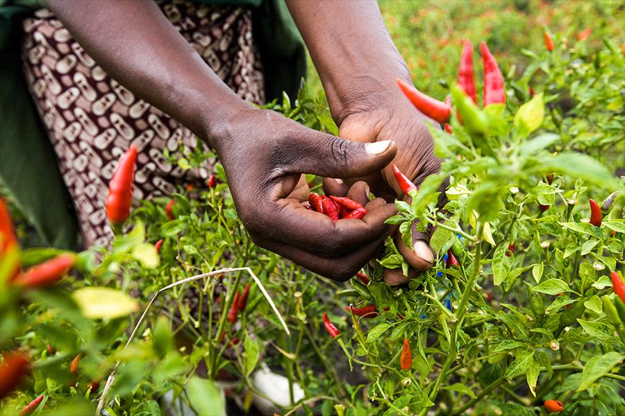 Farmers hands harvesting chilli.jpg