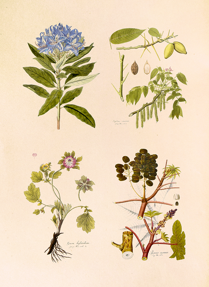 Selected Plates - Icones Plantarum Rariorum - print WEB.jpg