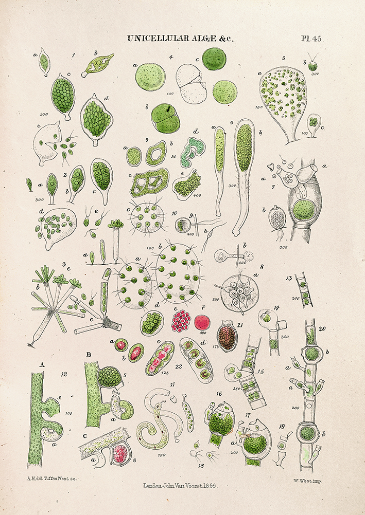 Unicellular Algae - The Micrographic Dictionary - print WEB.jpg