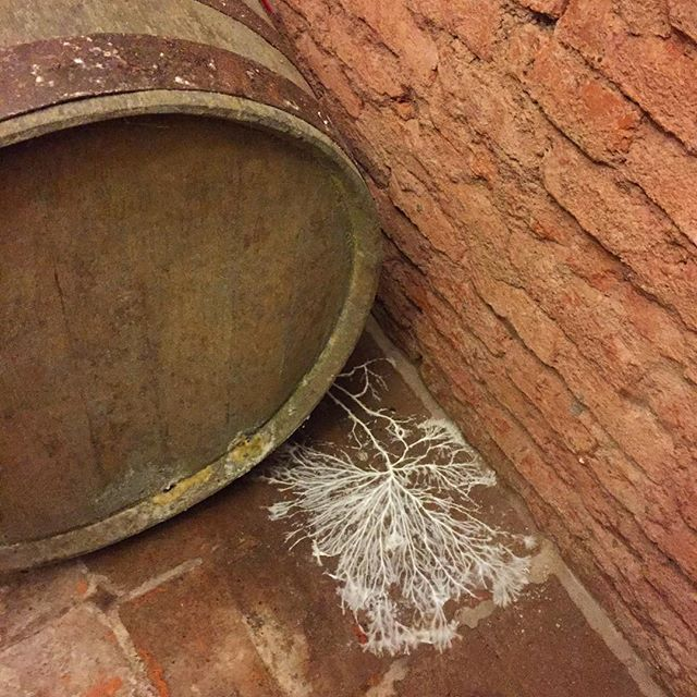 Found in the cheesecave/wine cellar at @lavignauruguay . Fermenting in the barrel is a natural wine vinegar; beneath the barrel, mycelium of an unknown fungus spread their dendritic hyphae across the floor. #fermentation #mycelium #cheesetour
